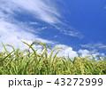 水田 田んぼ 稲穂の写真 43272999