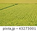 水田 田んぼ 稲穂の写真 43273001
