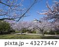 桜 春 満開の写真 43273447