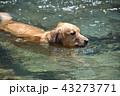 泳ぐ犬 43273771