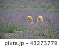 ラベンダーの中の犬 43273779