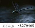 オオルリボシヤンマの飛翔1 43279405