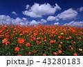 コスモス キバナコスモス 花の写真 43280183