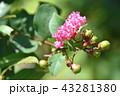 サルスベリ 百日紅 猿滑の写真 43281380