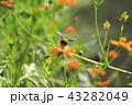 キバナコスモス コスモス 花の写真 43282049