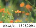 キバナコスモス コスモス 花の写真 43282091