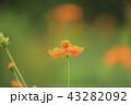 キバナコスモス コスモス 花の写真 43282092