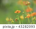 キバナコスモス コスモス 花の写真 43282093