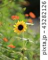 キバナコスモス コスモス 花の写真 43282126