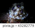 水中 ウミウシ 生き物の写真 43282779