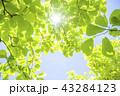 新緑 葉 青葉の写真 43284123