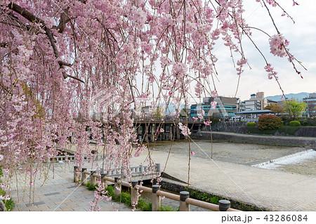 三条大橋 - 桜 43286084
