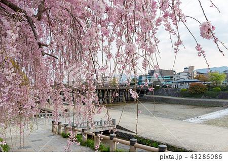三条大橋 - 桜 43286086