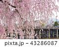 三条大橋 - 桜 43286087