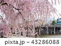 三条大橋 - 桜 43286088