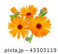 マリーゴールド キンセンカ 金盞花の写真 43303119