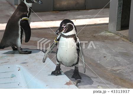 歩くフンボルトペンギン|ペンギンの写真 水族館|PENGUIN 43313937