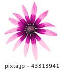 お花 フラワー 咲く花の写真 43313941
