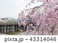 三条大橋 - 桜 43314046