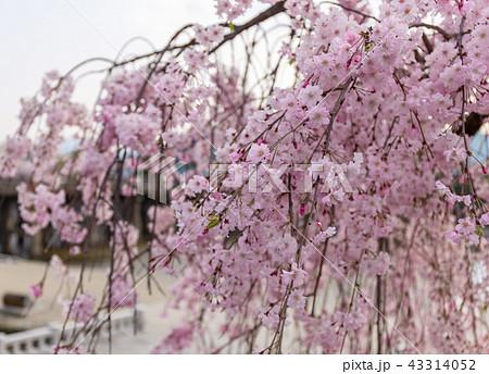 三条大橋 - 桜 43314052