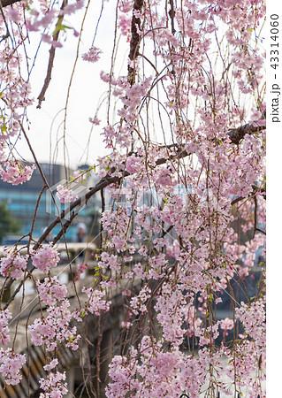 三条大橋 - 桜 43314060