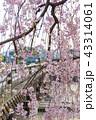 三条大橋 - 桜 43314061