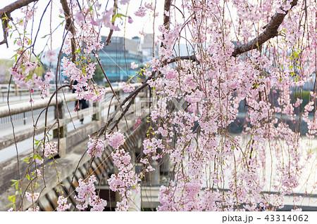 三条大橋 - 桜 43314062