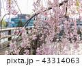 三条大橋 - 桜 43314063