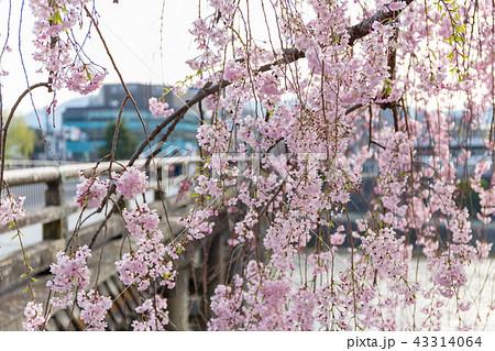 三条大橋 - 桜 43314064