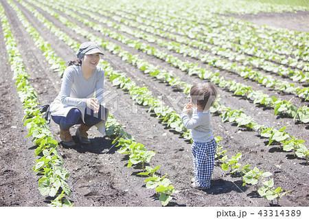 親子で家庭菜園 43314389
