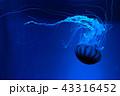 海中を浮遊するアカクラゲ|水中写真|水族館 jellyfish 43316452