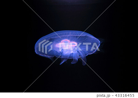ほのかに発光する水くらげ 水中写真 水族館 jellyfish 43316455