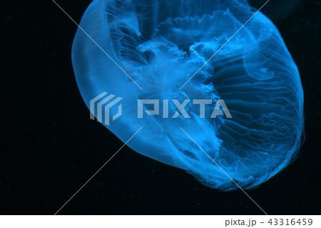 ほのかに発光する水くらげ|水中写真|水族館 jellyfish 43316459