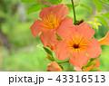 ノウゼンカズラ 花 オレンジ色の写真 43316513