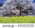 桜 花 春の写真 43325530