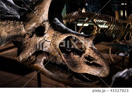 トリケラトプスの化石 43327823