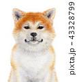 秋田犬 犬 日本犬のイラスト 43328799