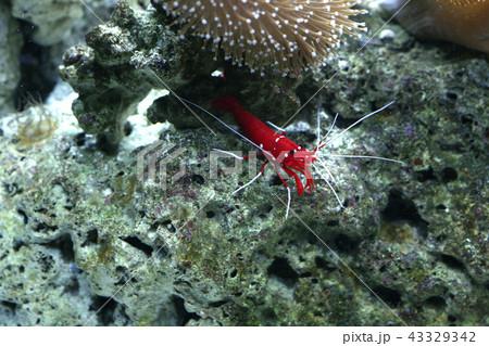 シロボシアカモエビの写真|ホワイトソックスシュリンプ 43329342