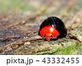 テントウムシ ムネアカオオクロテントウ 甲虫の写真 43332455