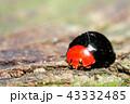 テントウムシ ムネアカオオクロテントウ 甲虫の写真 43332485