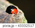 テントウムシ ムネアカオオクロテントウ 甲虫の写真 43332517