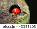 テントウムシ ムネアカオオクロテントウ 甲虫の写真 43333103
