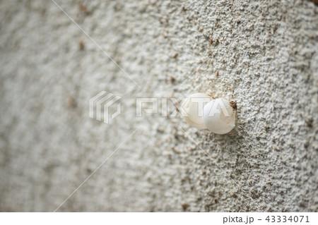 ヤモリの卵の殻 43334071