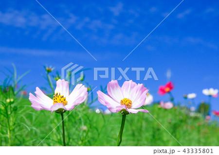 秋桜のアップと青空 43335801