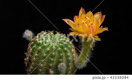 Blooming Cactus Flower Lobivia Hybrid Yellow Color 43336084