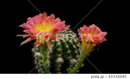 Blooming Cactus Flowers Lobivia Hybrid Red Color 43336085