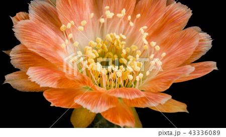Blooming Cactus Flower Lobivia hybrid Orange Color 43336089