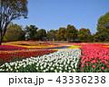 チューリップ 花 花畑の写真 43336238