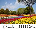 チューリップ 花 花畑の写真 43336241
