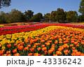 チューリップ 花 花畑の写真 43336242